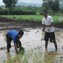 Working in Paddy Feilds 'Bhatlavani'.